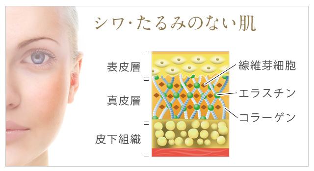 シワ・たるみのない肌の構造